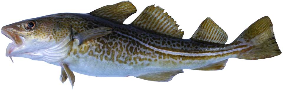 An isolated image of a cod of greenish hue